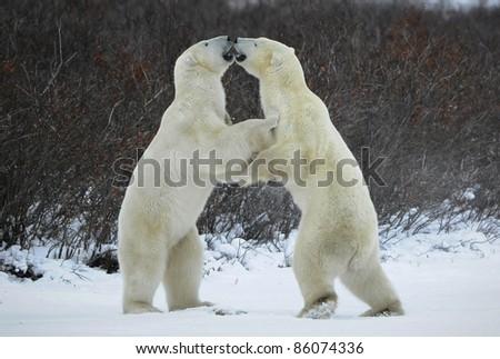 Fight of polar bears. Two polar bears fight. Tundra with undersized vegetation. . - stock photo