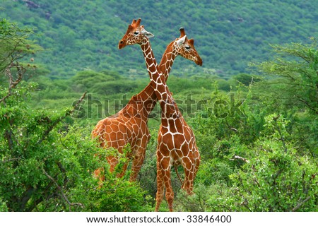Fight of two giraffes. Africa. Kenya. Samburu national park. - stock photo