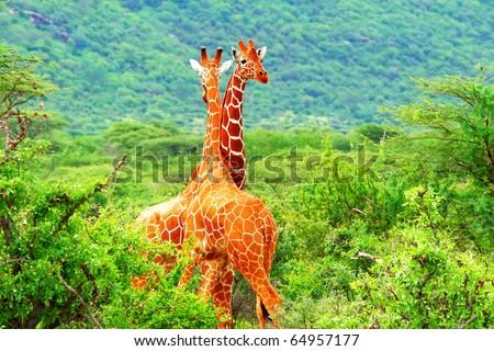 Fight of two giraffes. Africa. Kenya. Samburu national park. - stock photo
