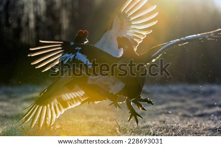 Fighting Black Grouses  ( Lyrurus tetrix) in a ray of sunlight. Backlight. Early morning. Sunrise   - stock photo