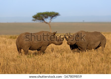 Fighting Black Rhinos, male and female, in Masai Mara, Kenya - stock photo