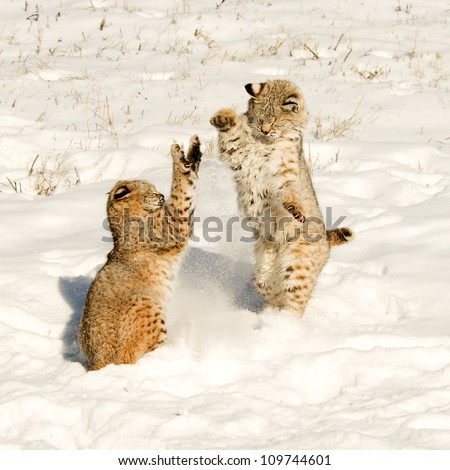 Fighting Bobcats - stock photo
