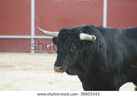 Fighting bull picture from Spain. Black bull - stock photo