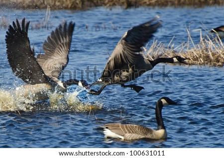 Fighting Canada Geese - stock photo