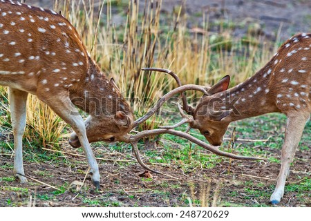 Fighting chital or cheetal deers (Axis axis), also known as spotted deer or axis deer in the Bandhavgarh National Park in India. Bandhavgarh is located in Madhya Pradesh.