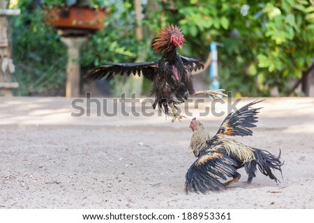Fighting cocks in a vicious attack clawing at each other with their feet and legs - stock photo
