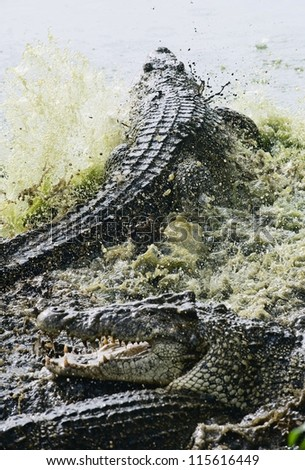 Fighting crocodiles. Two crocodiles (Crocodylus rhombifer) fight in a splashes. - stock photo