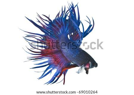 fighting fish betta - stock photo