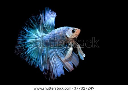 fighting fish - betta fish isolated on black background - stock photo