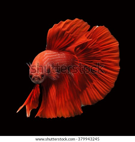 fighting fish - betta fish isolated on black background