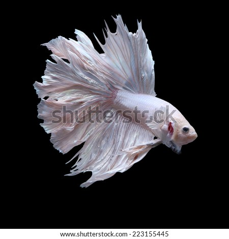 fighting fish, betta on black background - stock photo