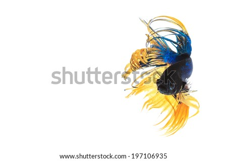 fighting fish , betta splenden, siamese fighting fish  isolated on white, clipping path - stock photo