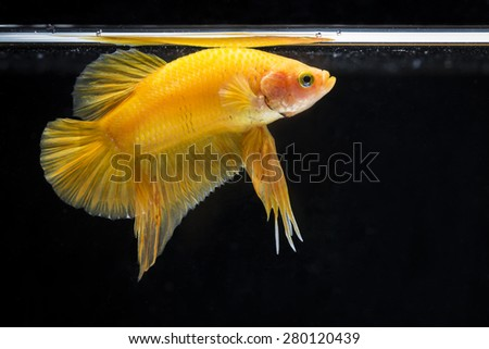 Fighting fish (Betta splendens) Fish with a beautiful array of colorful beauty. - stock photo