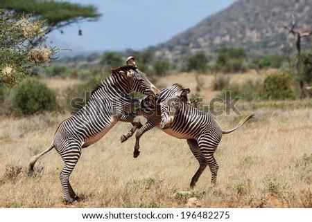 Fighting Grevy Zebras in Samburu National Reserve, Kenya - stock photo
