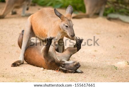 fighting kangaroo - stock photo