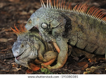 Fighting Male Iguanas in the wild in Florida / Big Bite - stock photo