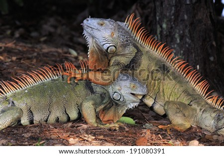 Fighting Male Iguanas in the wild in Florida / Fighting Iguanas  - stock photo