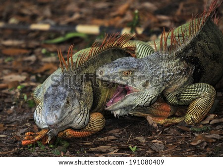 Fighting Male Iguanas in the wild in Florida / Male Aggression  - stock photo