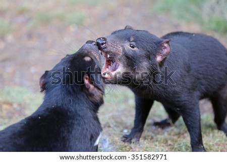 Fighting Tasmanian Devils - stock photo