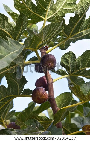 figs in a fig tree