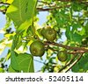 figs on fig tree - stock photo