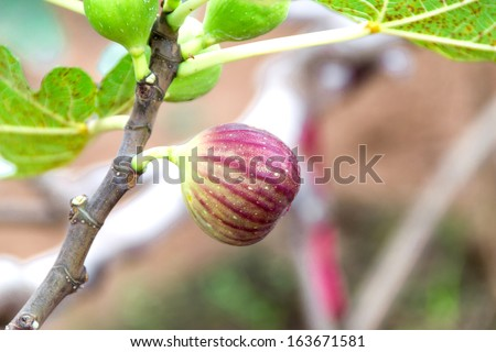 figs on tree branch - stock photo