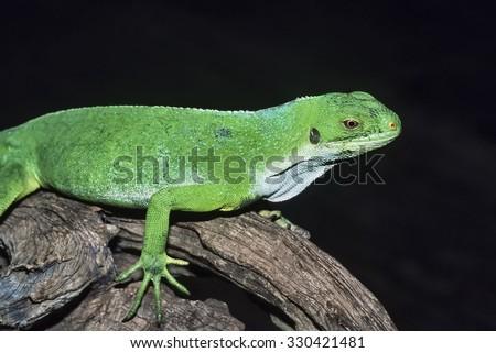 Fiji Islands, Viti Levu Island, tropical lizard on a tree - FILM SCAN - stock photo
