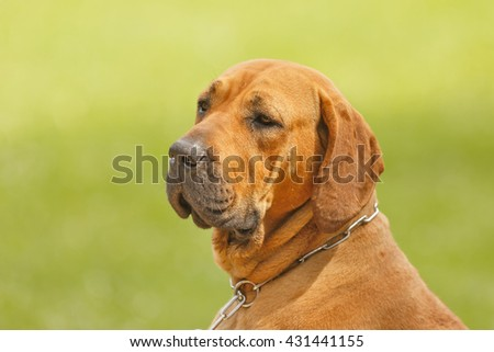 Fila Brasileiro portrait. Dog is very strong and clever. this animal is good guard and friend. - stock photo