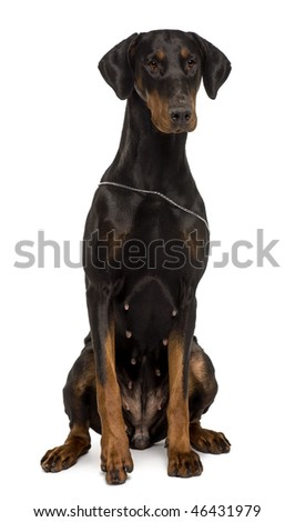 Fila Brasileiro, 1 year old, sitting in front of white background - stock photo