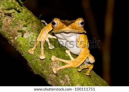 File Eared Tree Frog, Polypedates otilophus, Borneo. - stock photo