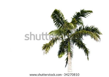 Filipino palm tree isolated on a white background - stock photo