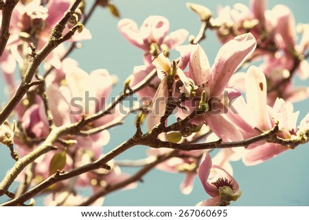 filtered effect magnolia blooming over blue sky - stock photo