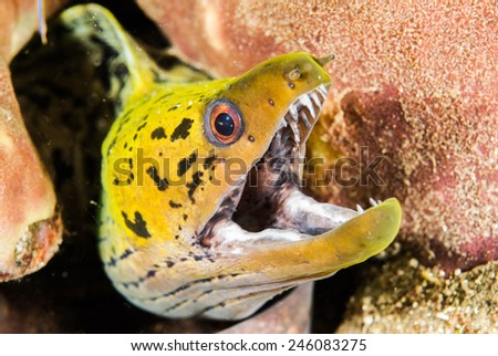 Fimbriated moray eel in Ambon, Maluku, Indonesia underwater photo. Fimbriated moray eel Gymnothorax fimbriatus among the reef with the opened mouth. - stock photo