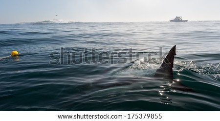 Fin of a Great White Shark in water. Shark Fin above water near the boat.  - stock photo