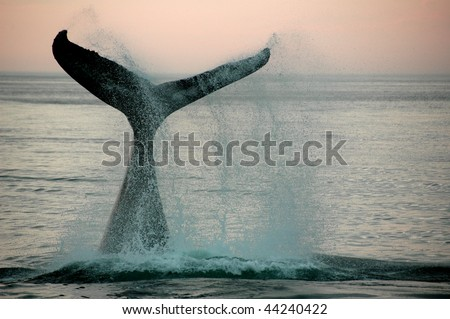 Fin of a humpback whale - stock photo