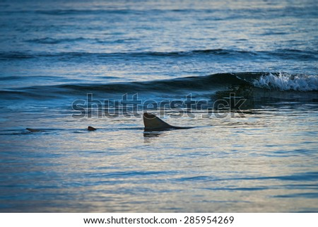 Fin of a shark in the high sea.