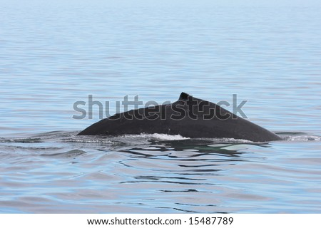 fin of humpback whale surfacing in icy Alaskan waters - stock photo