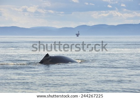 Fin whale, St Lawrence river, Quebec (Canada) - stock photo