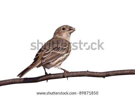 finch chews a safflower seed while perched on a branch, white background back to front view - stock photo