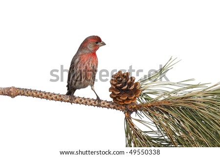 finch contemplates eating an appetizing pine cone; white background - stock photo