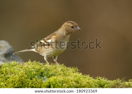 Finch finch chaffinch female - stock photo