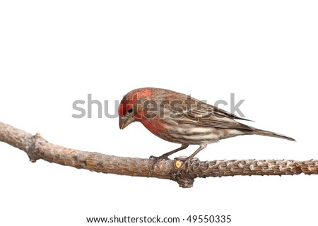 finch peers downward in a search for food; white background - stock photo