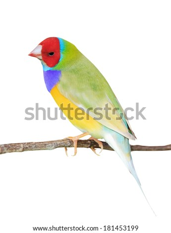 finches sitting on a branch in the forest - stock photo
