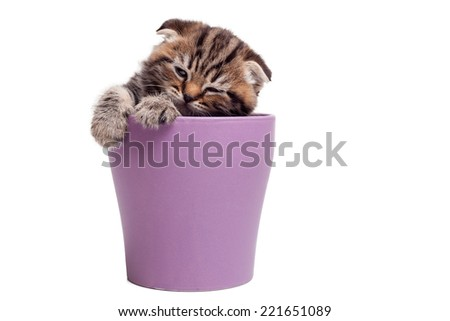 Finding a peaceful place to sleep. Cute Scottish fold kitten sitting inside of beer mug and looking away  - stock photo