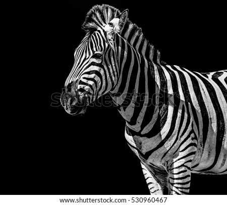 Fine art black and white monochrome portrait of a single isolated cute zebra on black background