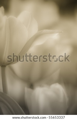 Fine art of close-up Tulips, blurred and sharp - stock photo