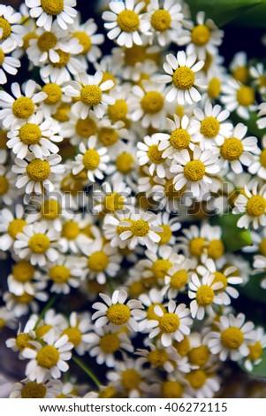fine chamomile flowers  - stock photo