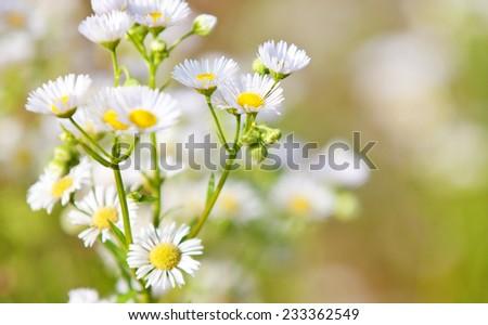 Fine grown german chamomile - stock photo