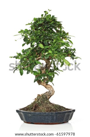 fine image of classic young bonsai in a pot - stock photo