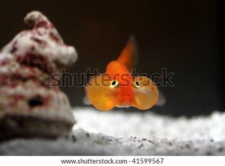 fine image of orange bubble eyes goldenfish background - stock photo
